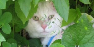 Oscar in the bushes - Read more about Sharon's cat family at SharonsWalkabout.com
