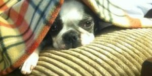 Naptime for a Boston Terrier with Sharon at sharonswalkabout.com